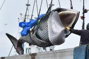 Vědci už vědí, jak zní zpěv nejvzácnější velryby na světě!